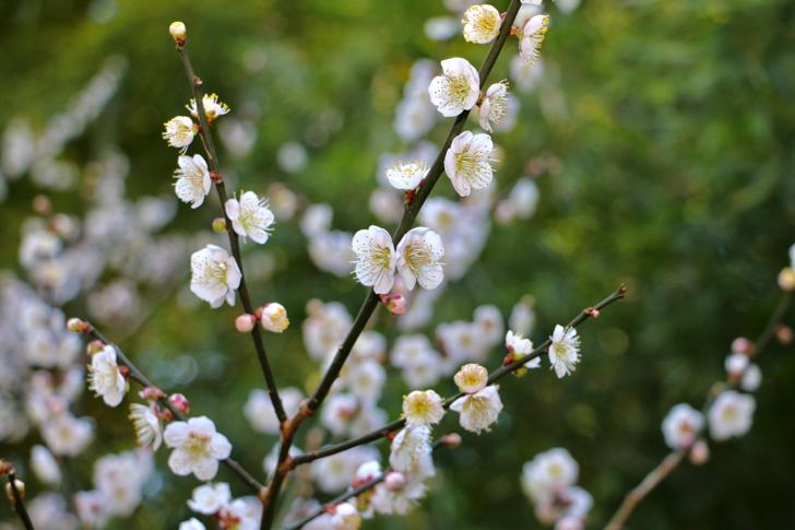 原峰公園の梅