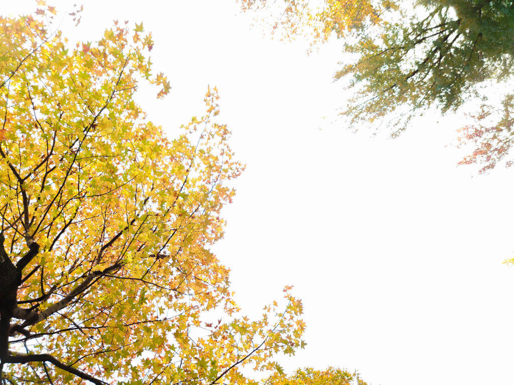 多摩市紅葉スポットまとめ モミジバフウ並木